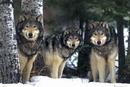 Wolves - 3 wolves