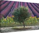 David Clapp - Olive Tree in Provence, France