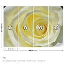 Rose Flower White Yellow